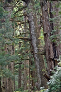 koyasan-cedar trees
